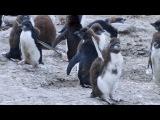 Пингвины- 3 часть