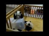 Панда отчаянно пытается сбежать из неволи